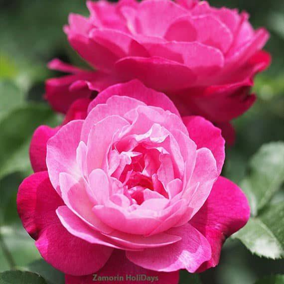 rose-garden-homestay